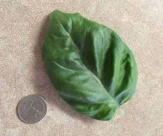 Basil Leaf from Hydroponics