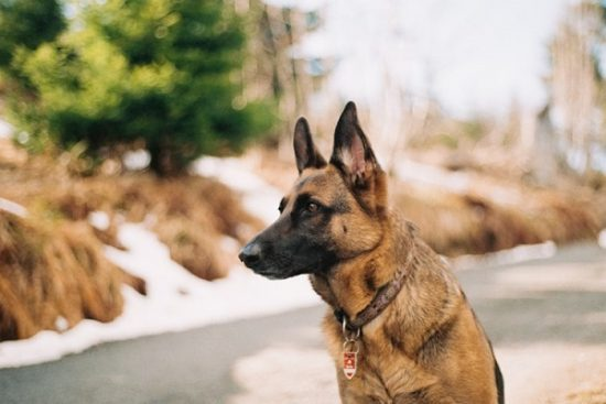Best dogs for families German Shepherd